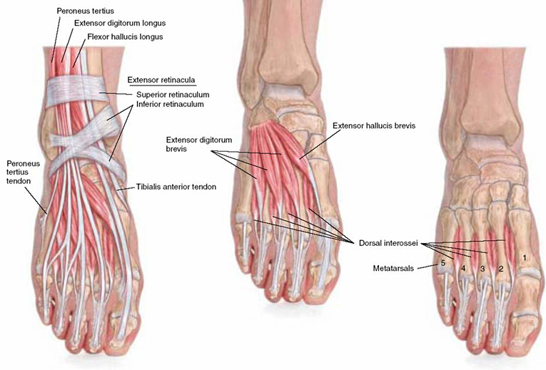 top of right foot view of tendons, ligaments, and bones